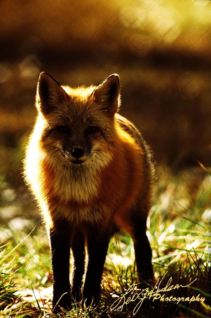 Side lit Red Fox