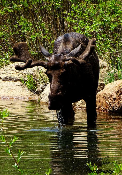 Bull-Moose-08309