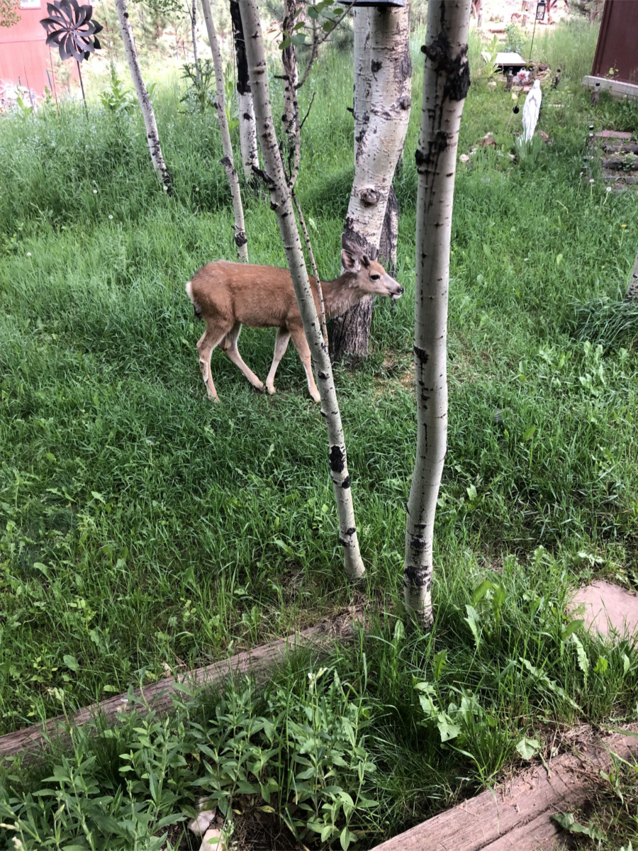 Fawn-in-the-woods
